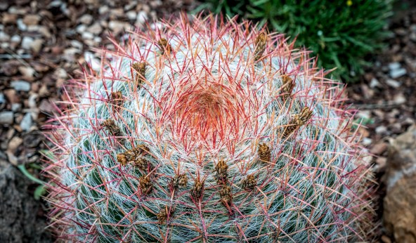 Barrel Cactus Red Spine