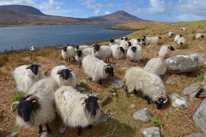 Curious Sheep - Donegal, Ireland