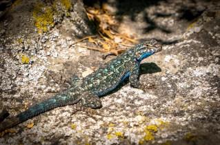 Western Sagebrush Lizard