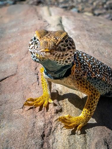 Capitol Reef - Colared Lizard CU