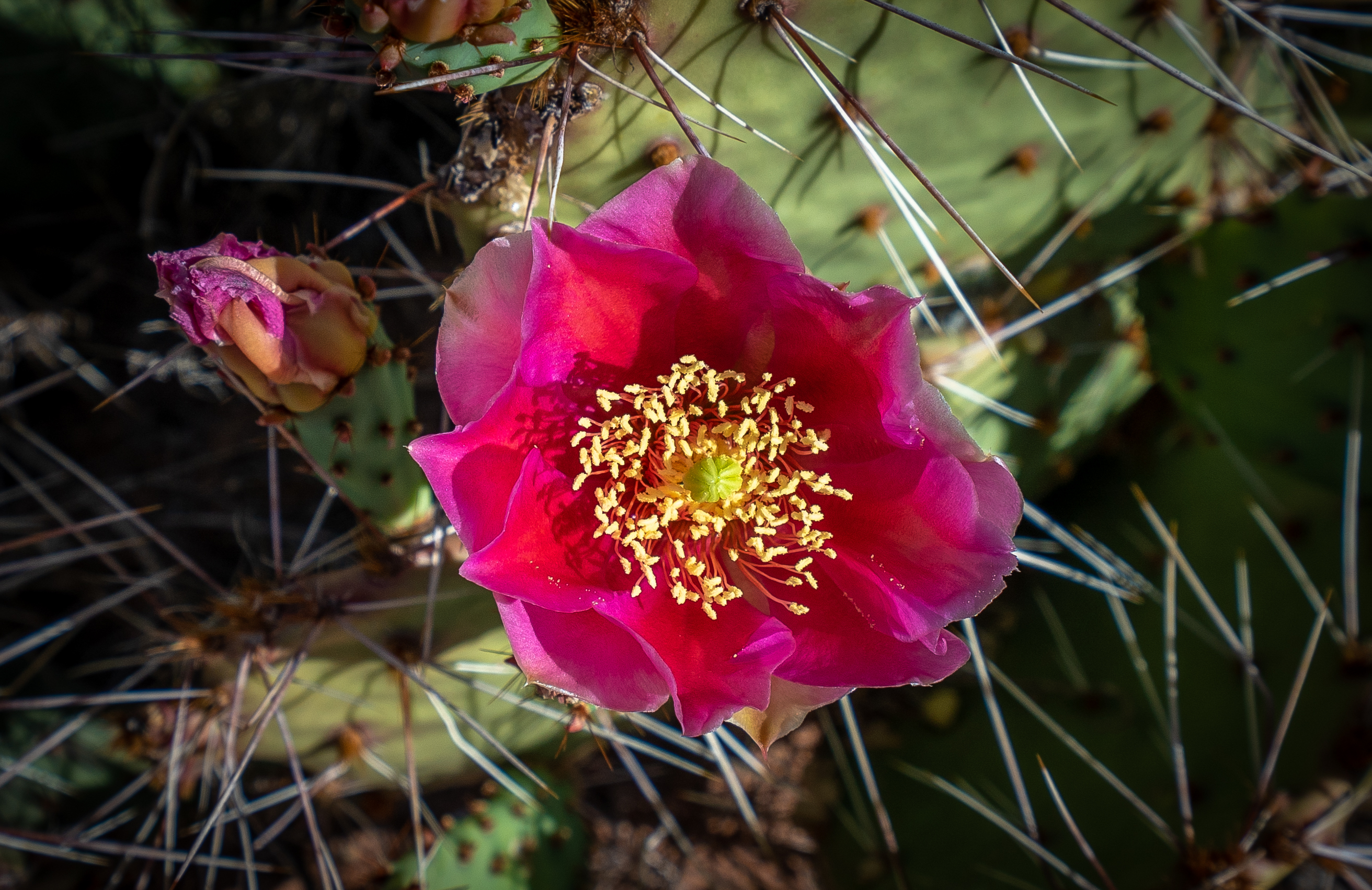 Capitol Reef - Prickly Pear Flower