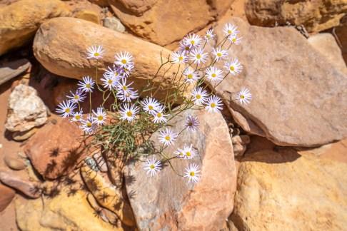 Capitol Reef - Utah Daisy