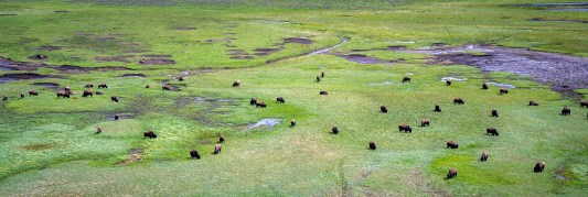 Yellowstone - Bison Herd