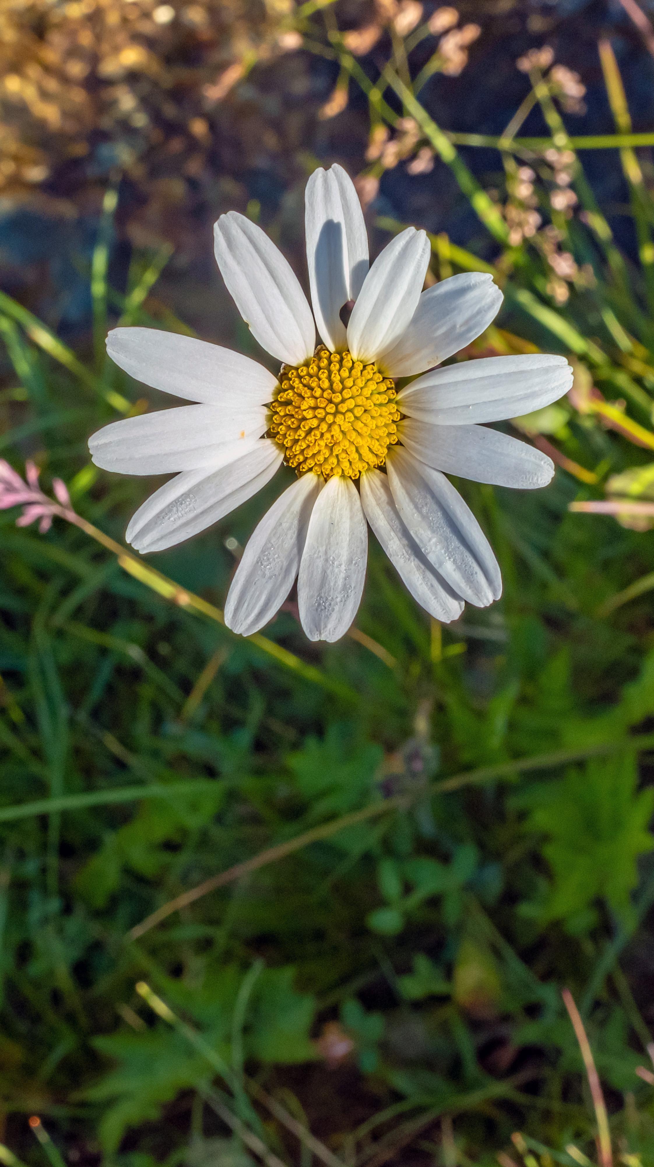 Daisy Vert
