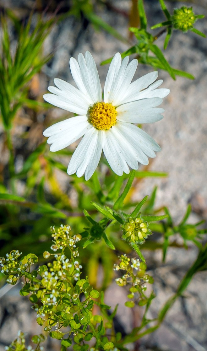Cut Leaved Daisy