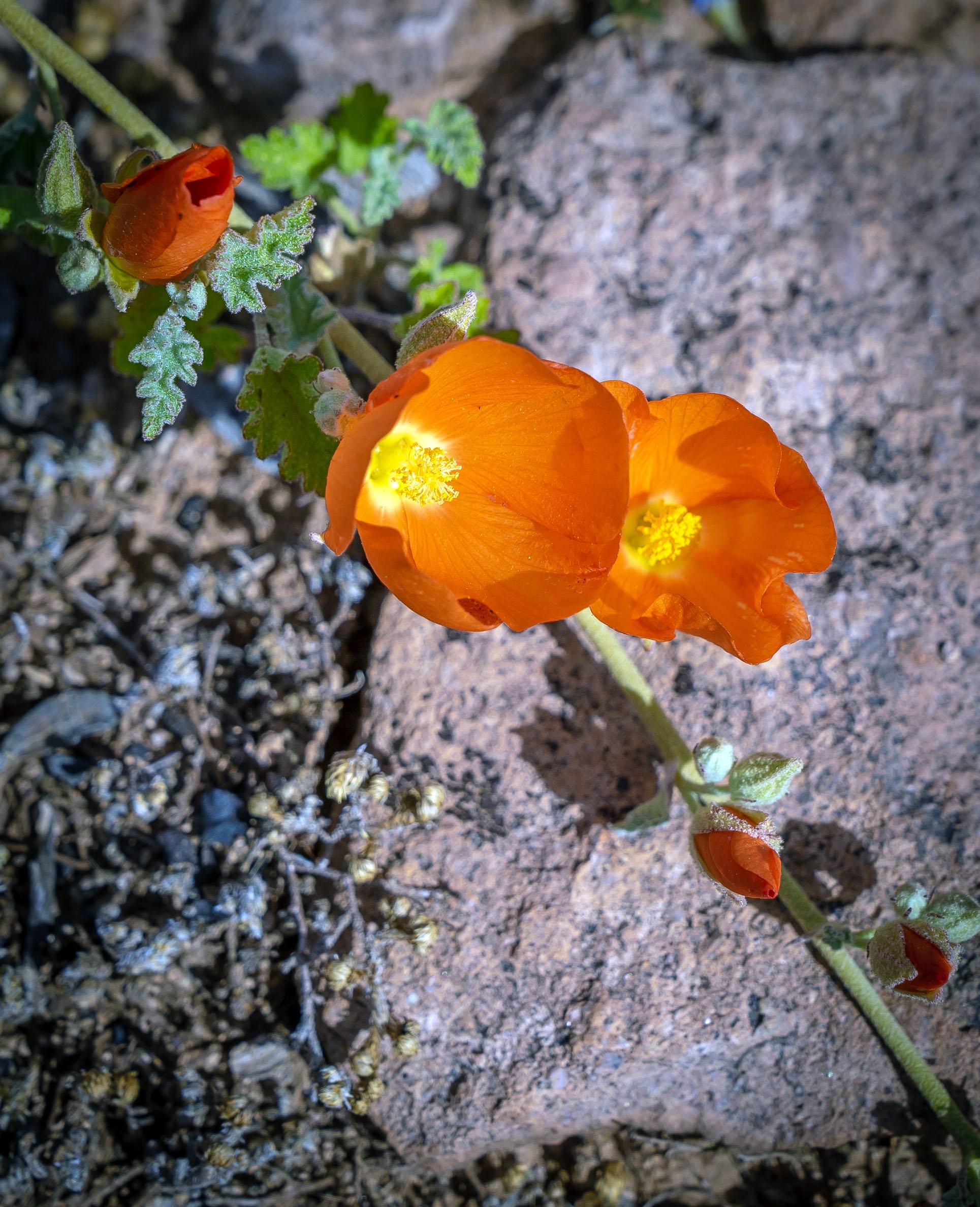 Mexican Poppy