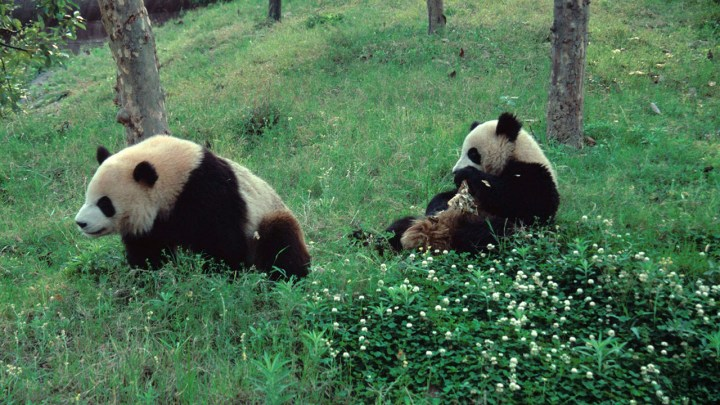 Panda, né pour être libre