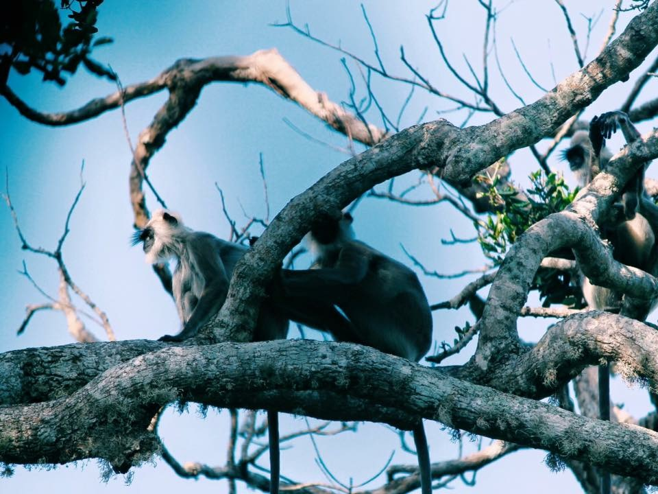 Monkeys in Yala National Park, Sri Lanka