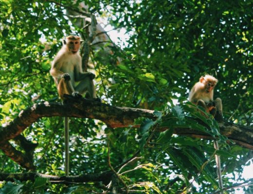 Monkeys in the Trees in Sri Lanka