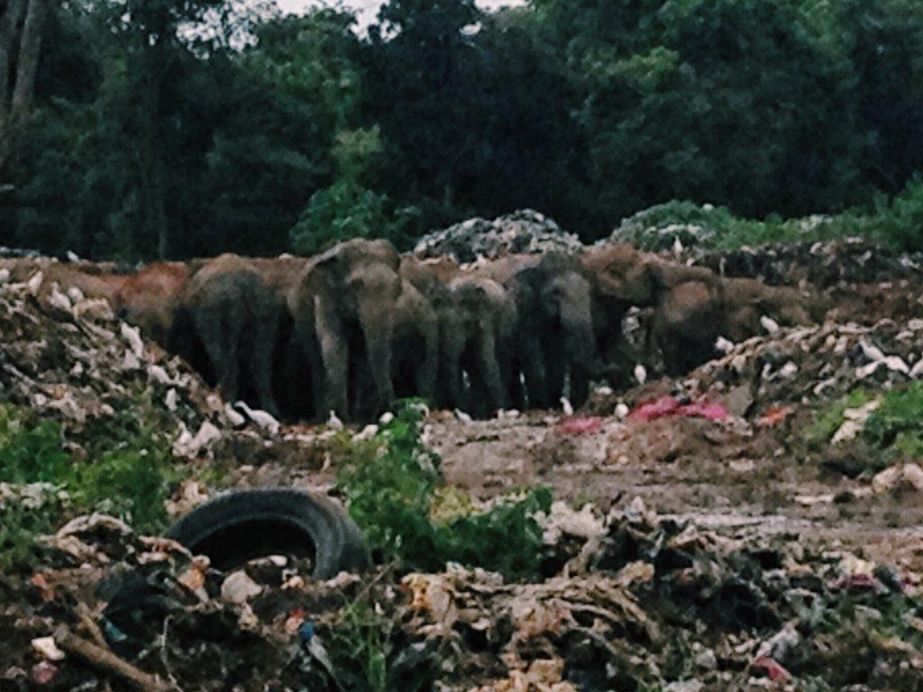 Elephants in Dambulla's trash dump