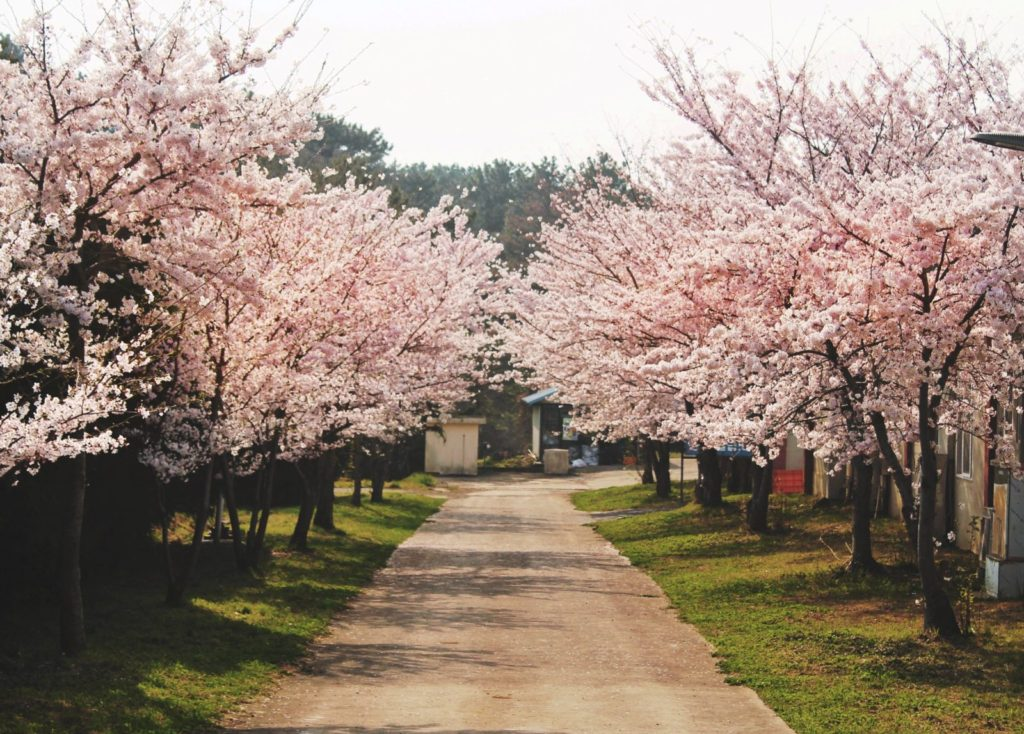 Korean cherry blossom walkway at Jeju High School