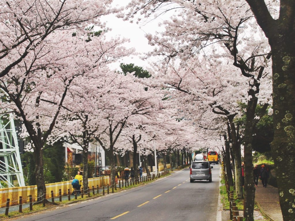 Halla Arboretum is flooded with Korean cherry blossom blooms in the spring!