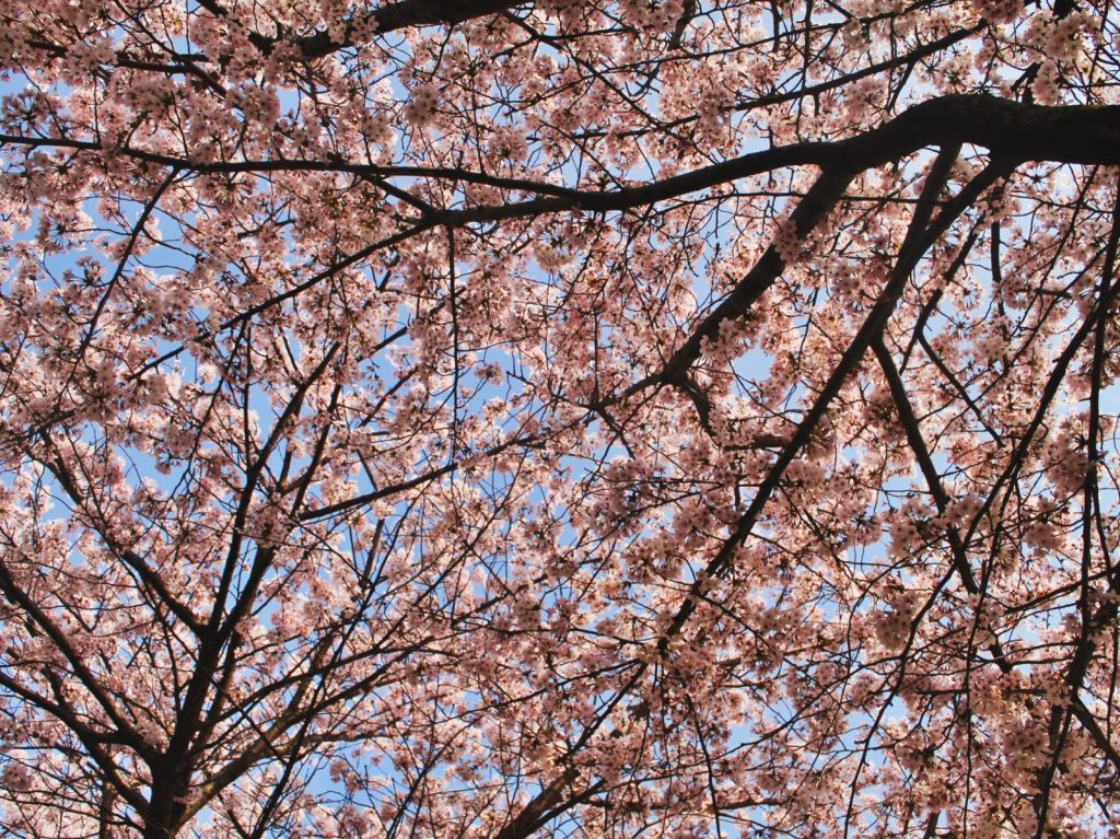 The best thing about spring in Korea is the Korean cherry blossom trees!