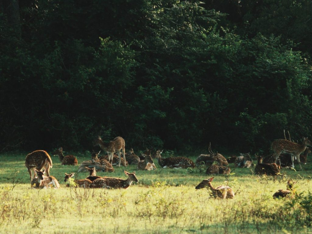 Herd of deer at Yala National Park