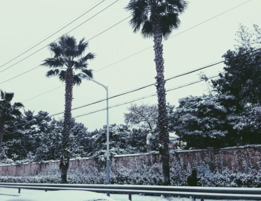 Icy white palm trees on Jeju Island