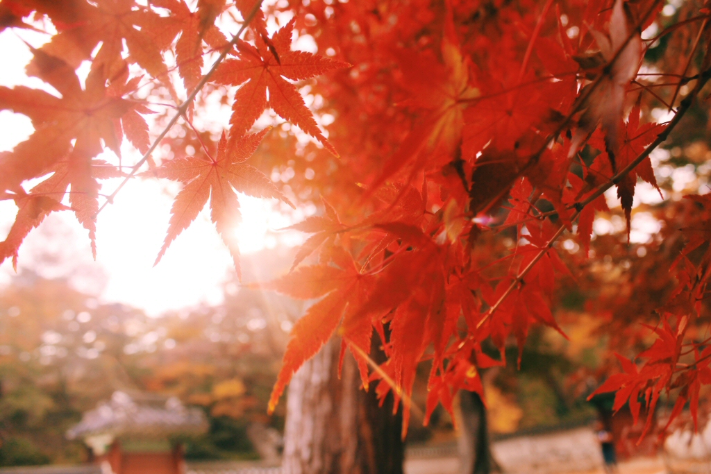Red leaves in Changdeokgung Palace, South Korean Autumn
