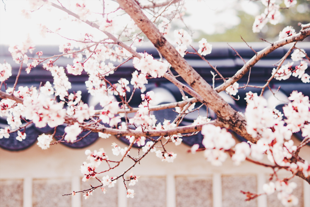 Gyeonbokgung Palace is lovely for spring in Korea