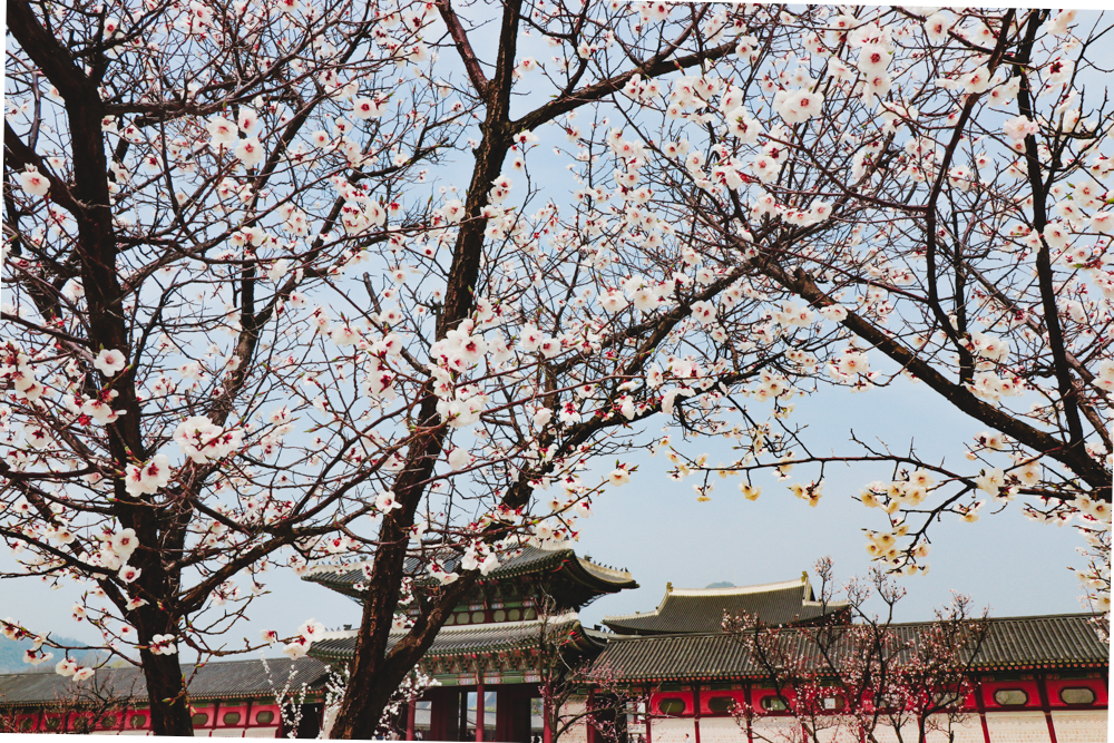 Spring in Korea is the best time to visit Seoul Korea season