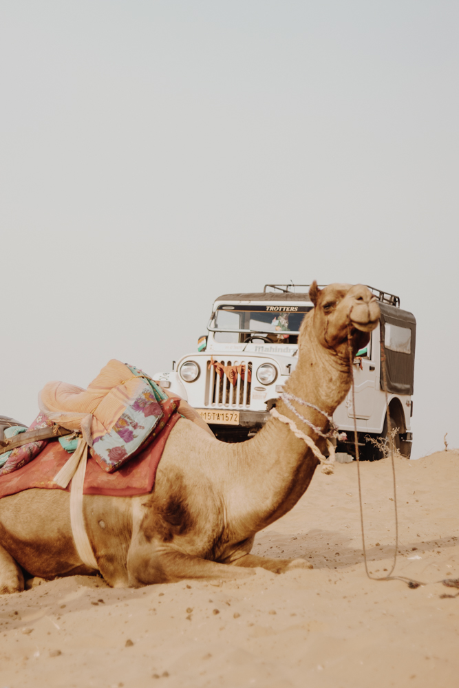 Camels in great Indian desert