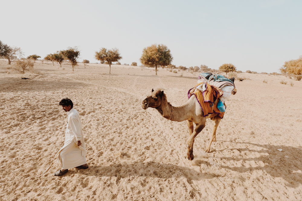 Camels in Indian desert