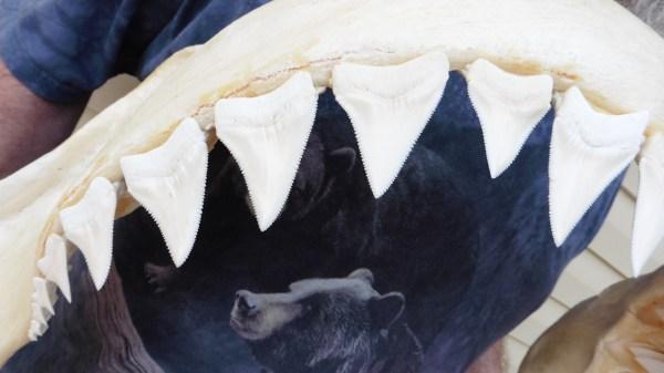 Species Shark Jaws 3 000 Weird Sharks
