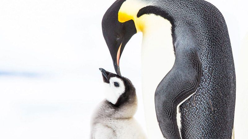 Penguins- Meet The Family