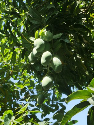 One of the 30 types of mangoes in Jamaica