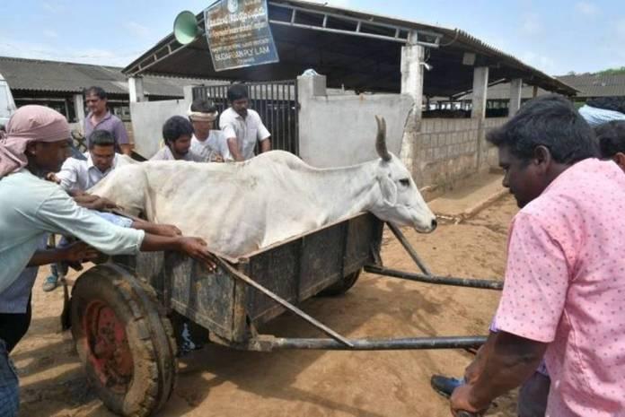 SIT on the death of Vijayawada cows death