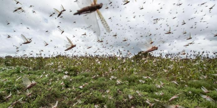 Govt steps in to fight with swarm of locusts as several states are under threat