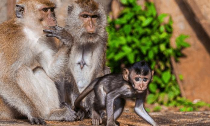 monkey vaccine