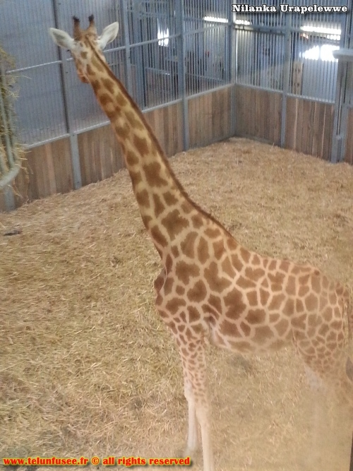 nilanka-urapelewwe-blog-voyage-france-zoo-de-vincennes-travel-blog-telunfusee-18
