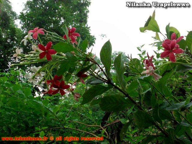 nilanka-urapelewwe-blog-voyage-sri-lanka-kalutara-travel-blog-telunfusee-1