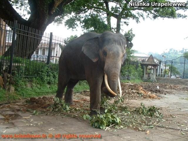 nilanka-urapelewwe-blog-voyage-telunfusee-kandy-elephant01-srilanka-travel-blog