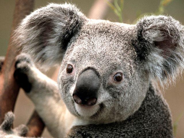 koala_telunfusee_travel_blog_nilanka_urapelewwe_france_2018