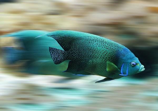 Jenis-Jenis Ikan Komet yang Bisa Menghiasi Akuarium