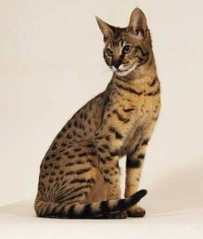 Baka Kucing Paling Mahal Di Dunia