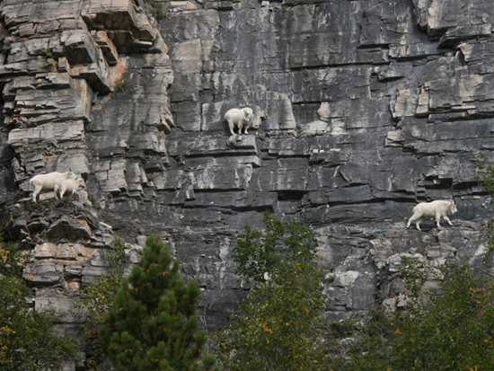 the-world_s-top-10-best-images-of-climbing-goats-4