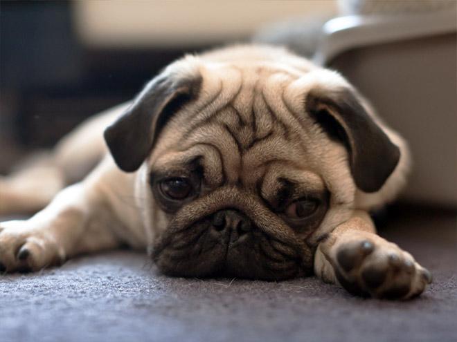 sad-pug10