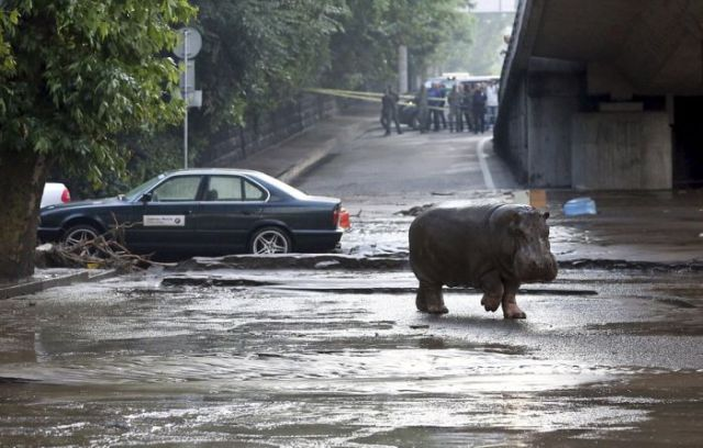 flooding_causes_zoo_animals_flee_the_tbilisi_zoo_16