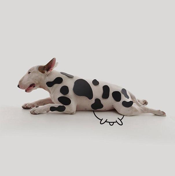 Jimmy-the-Bull-Terrier11__605