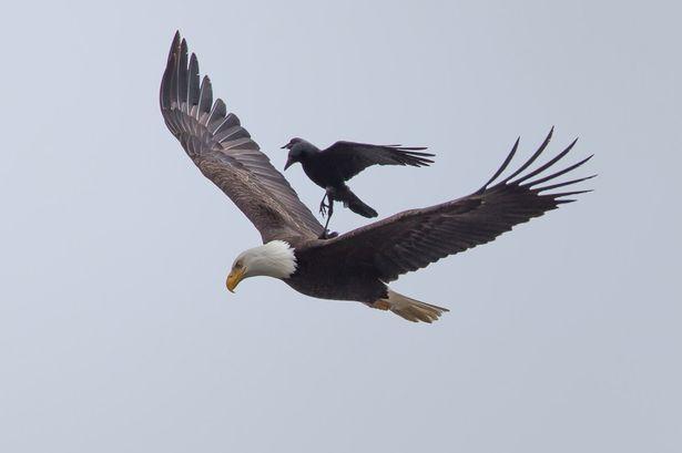 cheeky-crow02
