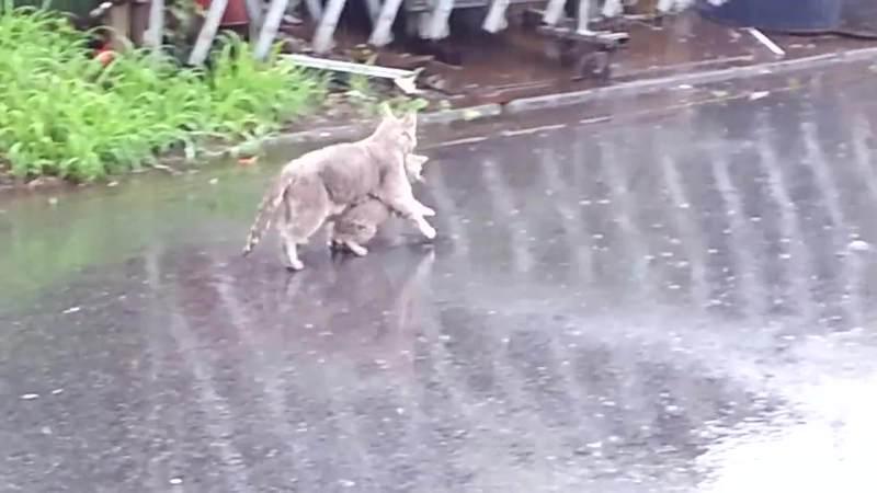 01-「急げ急げ〜!」雨のなか仔猫をくわえて急いでおうちへ帰るお母さん猫