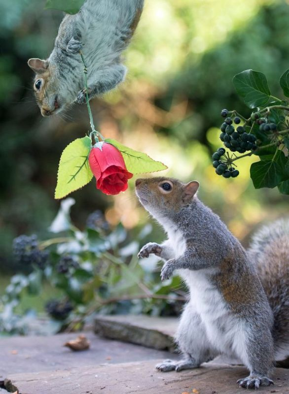 PAY-Squirrels-with-Valentines-Day-rose