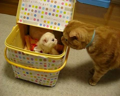 03「まいったにゃぁ~」いきなり新しく家にやってきた子ネコさんに先輩ネコさんがそわそわしてる・・・(笑)