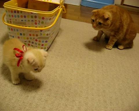 05「まいったにゃぁ~」いきなり新しく家にやってきた子ネコさんに先輩ネコさんがそわそわしてる・・・(笑)