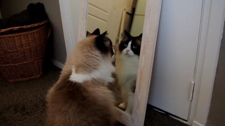 画像 「あれ?向こうにもネコがいるの?」鏡に映る自分を見て一生懸命探すネコさん!