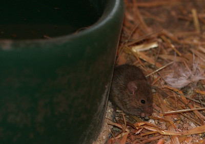 a mouse at poplar spring