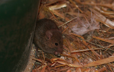 mouse at poplar spring