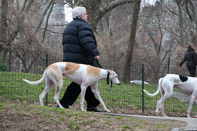 greyhounds in central park