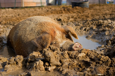 pig in the mud pps